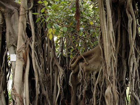 Moreton_bay_fig1